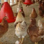 Safe chicken coops