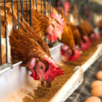 Advantages and maintenance of automatic feeder for chicken farming equipment