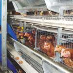 Precautions for the use of vaccines in layer cages